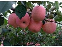 烟台苹果区使用水溶肥效果
