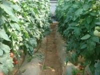 辽宁锦州西红柿施用水溶肥