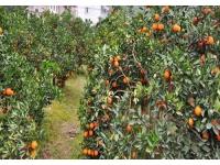 广西桂林柑橘施肥效果