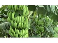 云南德宏香蕉施肥效果