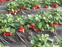 江苏赣榆草莓施肥效果